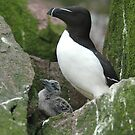 Razorbill Auk and chick by DebYoung