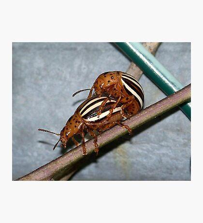 False potato beetles playing piggy back. Photographic Print