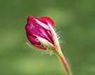 Pelargonium bud by John Keates