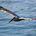MALE PACIFIC BROWN PELICAN by fsmitchellphoto