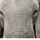 Closeup of African elephant by Angela Ferguson