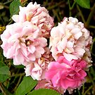 Governor General's rose 4 by Shulie1