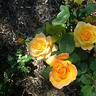 Roses In My Garden. by Kay Cunningham