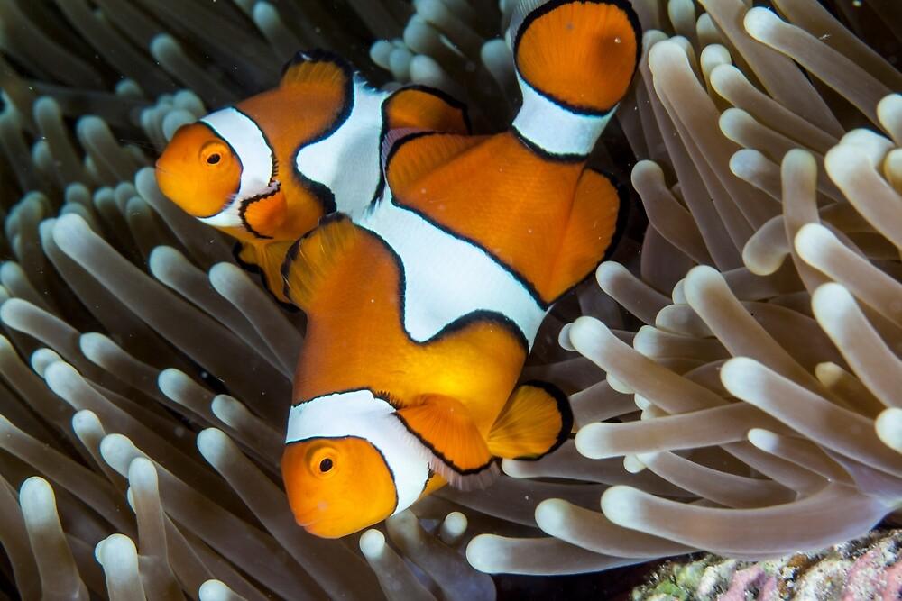 Fair dinkum Nemo by David Wachenfeld