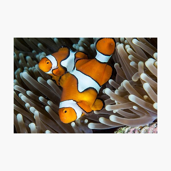 Fair dinkum Nemo Photographic Print
