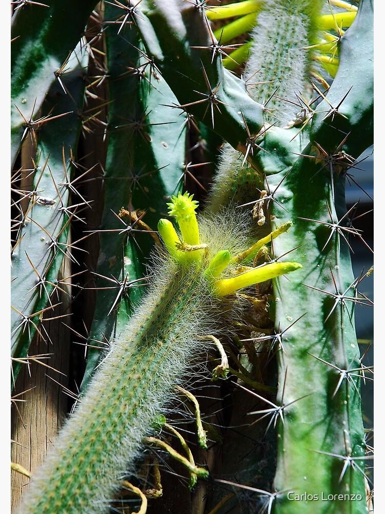 Cactus Buds by carloslorenzo