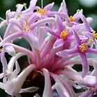 Dais cotinifolia (Pom Pom Tree) by Gabrielle  Lees