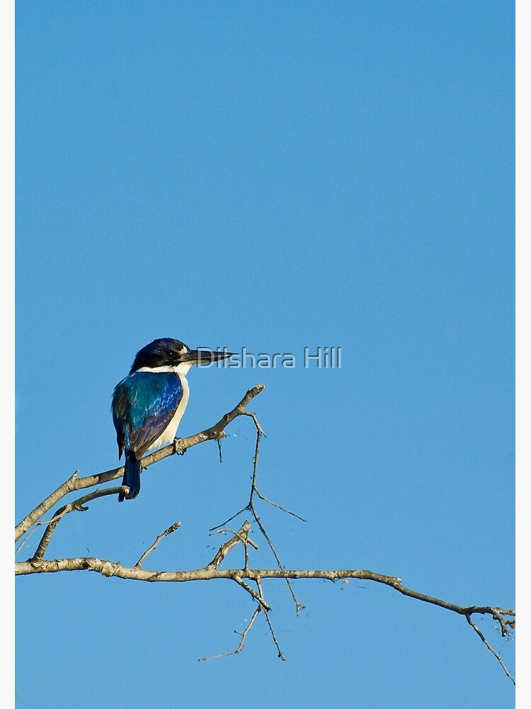 Forest Kingfisher - Kakadu National Park, NT by dilshara