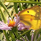 Cloudless Sulphur Butterfly on Michaelmas Daisies by AnnDixon