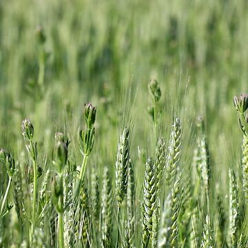 green wheat field spring season by goceris