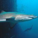 Grey Nurse Sharks at Magic Point, Maroubra by Erik Schlogl