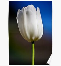 White Tulip - Colour Poster