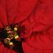 Poinsettia Challenge - Enchanted Flowers