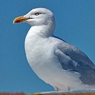 Teignmouth Gull  by lynn45