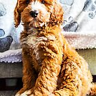 Dexter The Cockapoo Puppy by Paul Thompson Photography