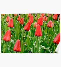 Red Tulip Field, Pearl Street, Boulder Poster