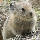 Baby Pika by Betsy  Seeton