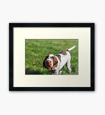 Italian Spinone Puppy Portrait Framed Print