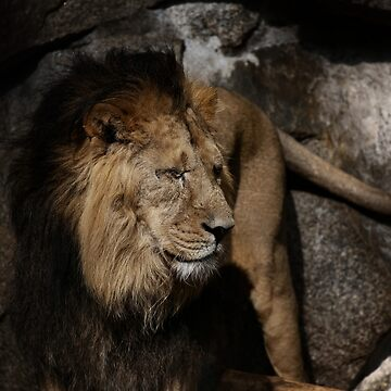 lion - indian lion by hottehue