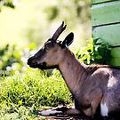 Goat sitting in the sun by Leon Woods