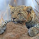 Leopard cub! by Anthony Goldman