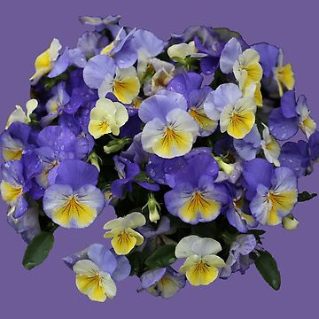 Lavender and Yellow Pansy by STHogan