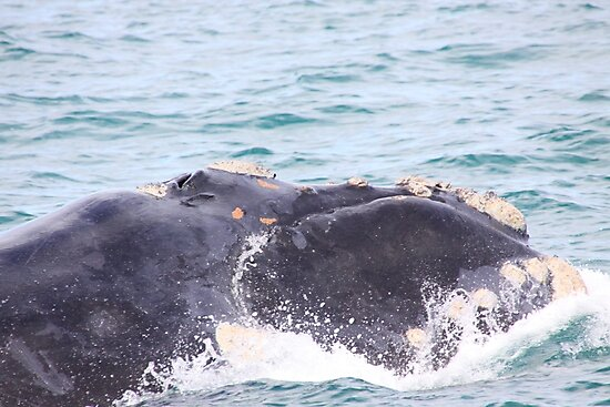 Victor Harbor Southern Right Whales Pt.8 by Stuart Daddow Photography