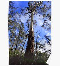 Eucalyptus Viminalis - Manna Gum - Yarra Valley Poster