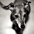 Greyhound by Illya Plaksey