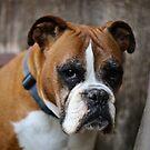 Bulldogge - Hund von laura-S