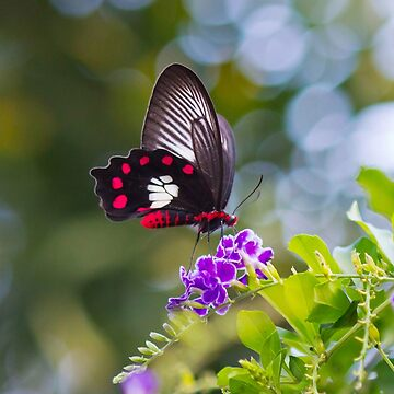 Red-bodied Swallowtail Butterfly - Pachliopta polydorus by Bellamaree