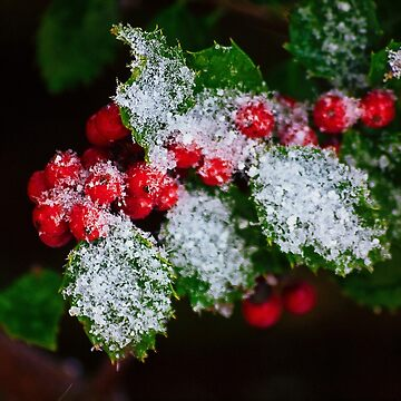 Snow On the Holly by kdxweaver