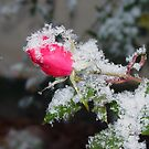 Snow Rose by SusanEWard