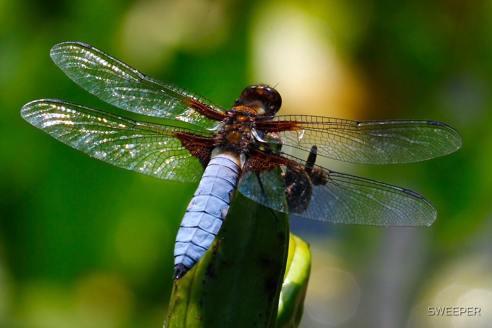 Quot Blue Tailed Dragonfly Quot By Sweeper Redbubble