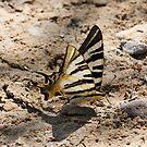 Scarce Swallowtail Butterfly 2 by SWEEPER