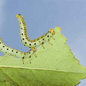 Sawfly Larvae by Kawka