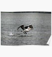 Pelican (2/5) -NSW Poster