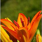 Orange Lily 2 by Chet  King