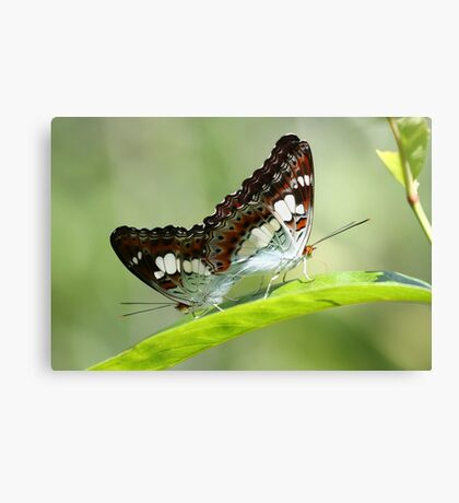 Indonesia 9 - Balinese Butterfly's Canvas Print