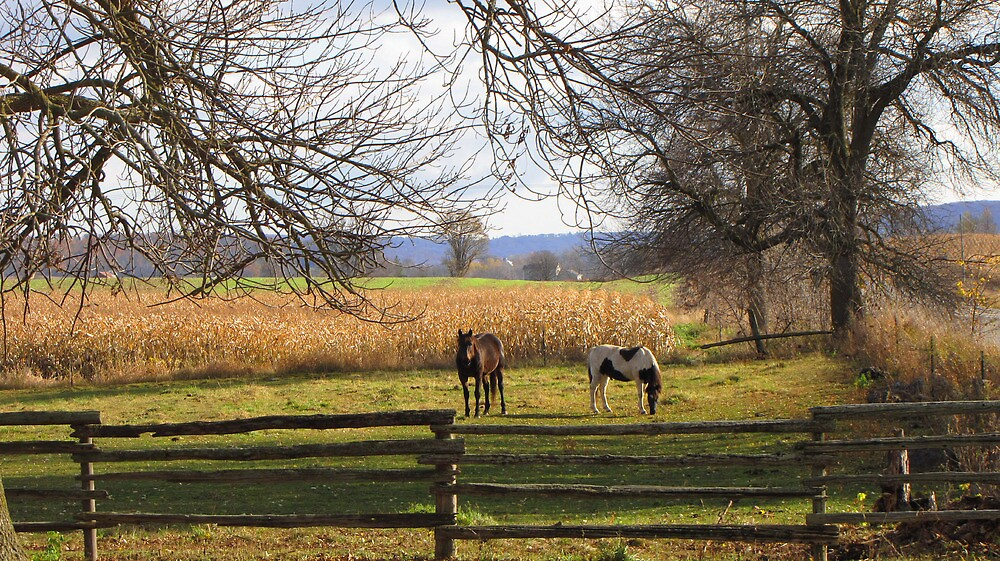 Horses Grazing by nikspix