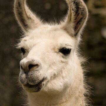 Llama  by jon77lees