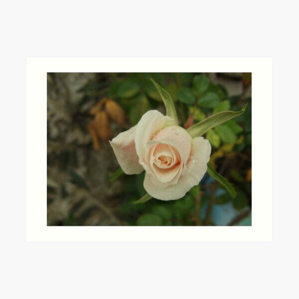 Rose after rain Art Print