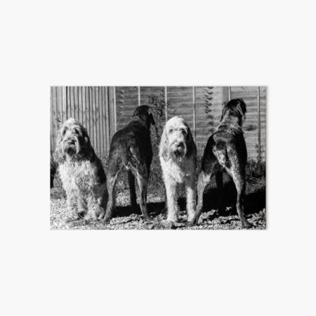 The line up Spinone Art Board Print
