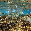 Seabreams fish underwater Mediterranean sea by Dam - www.seaphotoart.com