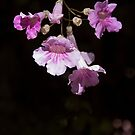 Delicate Pink by vfphoto