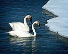 Trumpeter Swans on Tagish Lake by Yukondick