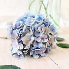 Pretty blue hydrangea flower by Tamsyn Morgans
