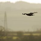 Buzzard over the Meads by kernuak