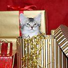 somali kitten in a Christmas box! by sarahnewton