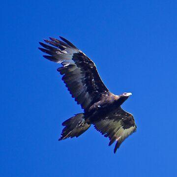RAPTOR ~ Wedge-tailed Eagle by David Irwin by tasmanianartist